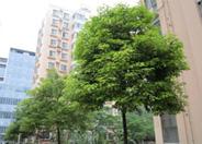 低价大量供应各种规格香樟树